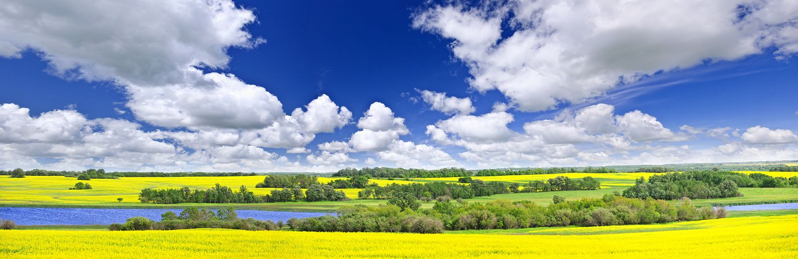 Panoramic Landscape Prairie View Of Canola Field And Lake